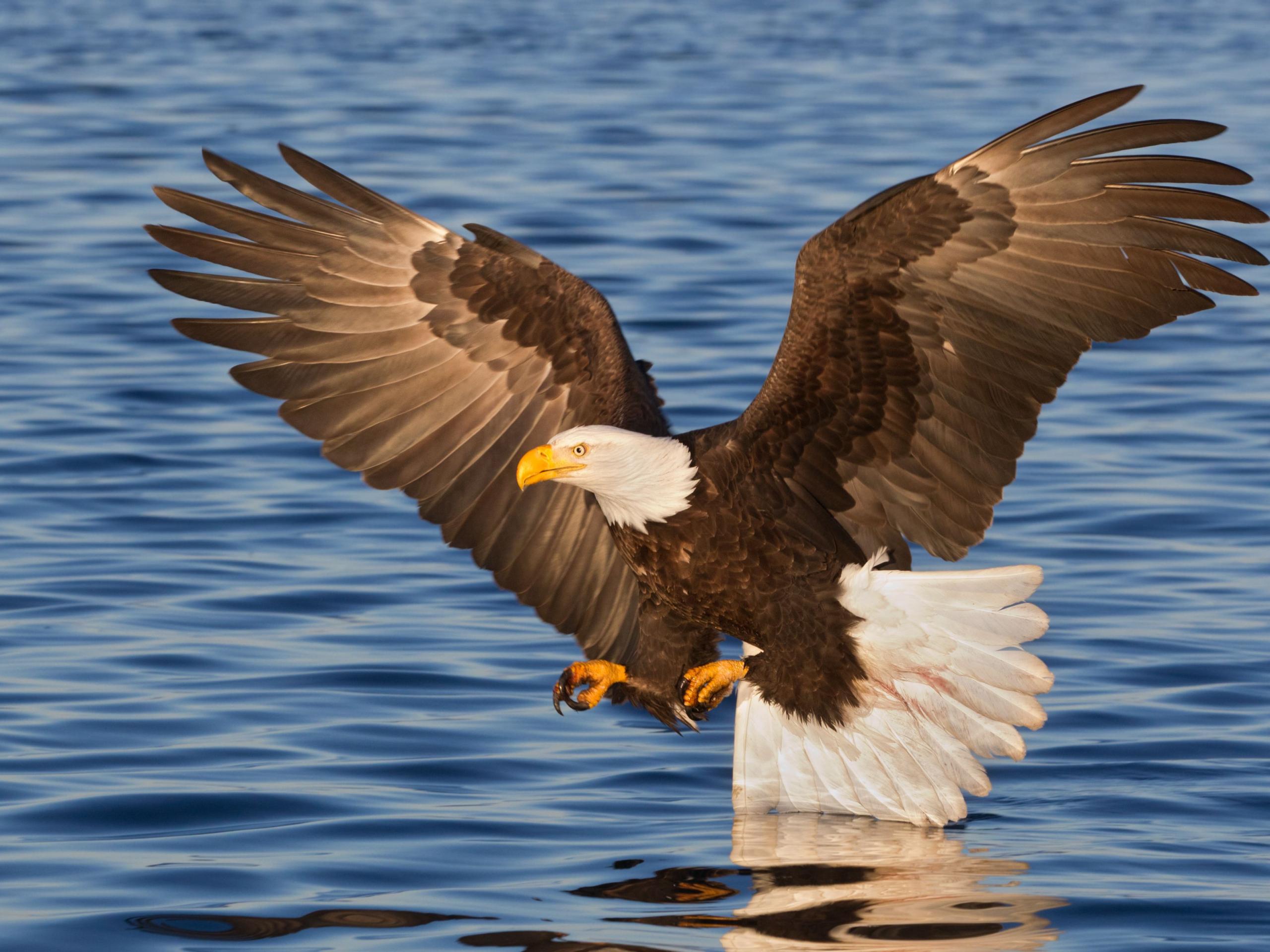 bald eagle military